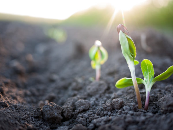 spring new growth saskatoon
